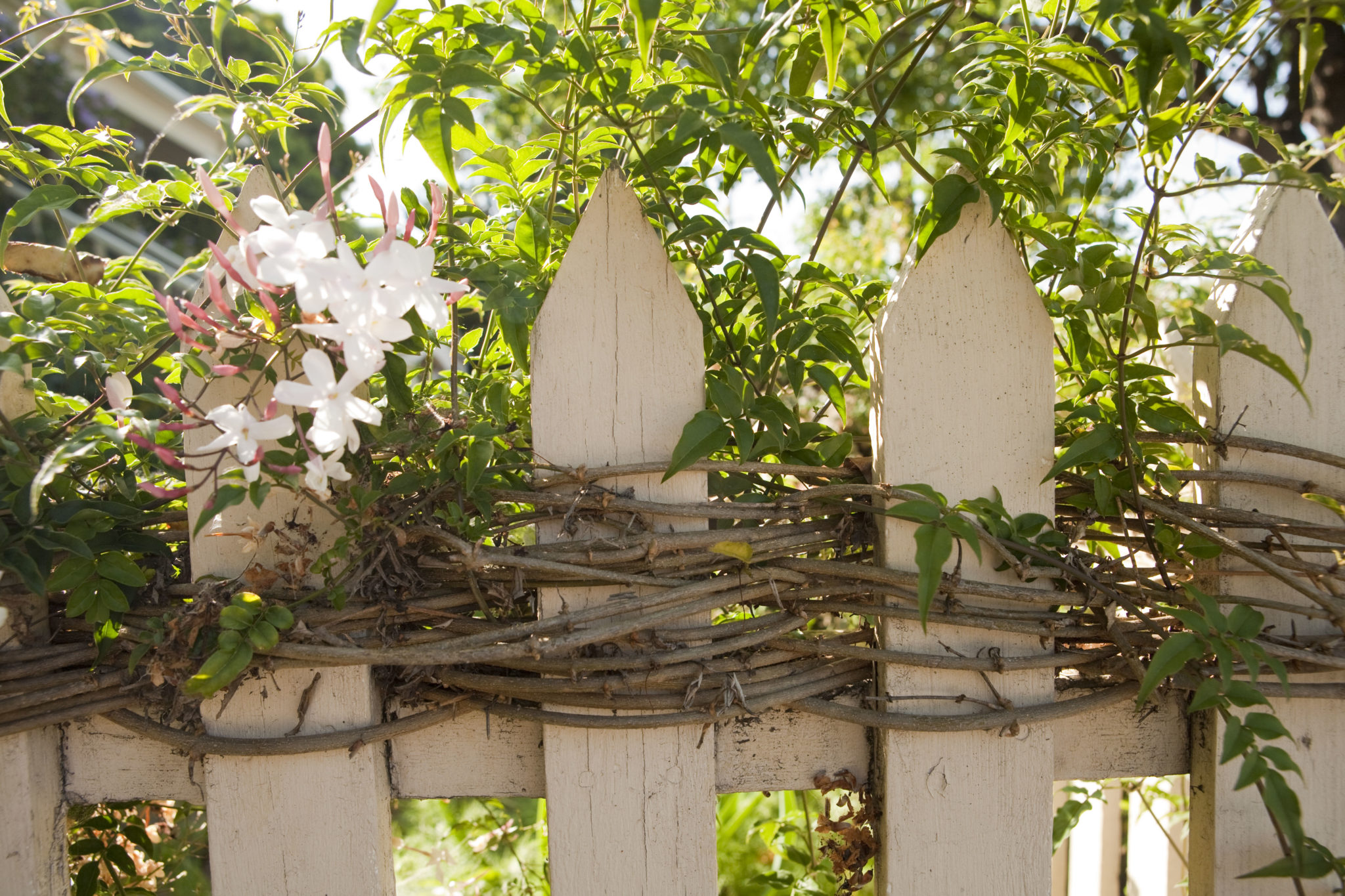 Basketry with Live Star Jasmine on Picket Fence