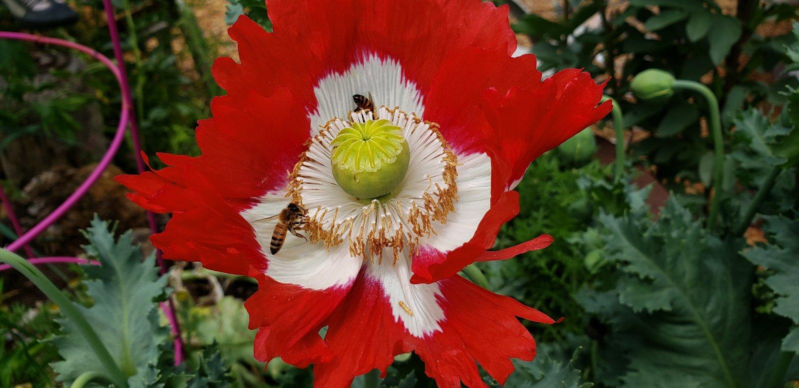 Honeybees on poppy