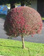 tea-tree-2.jpg