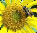 bee-on-sunflower.jpg